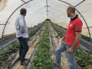 Culture raisonnée des fraisiers