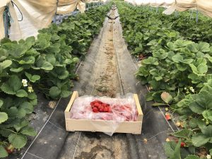 récolte fraise